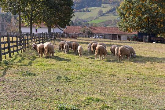 Meadow Grazing Sheep