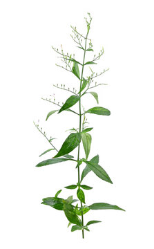 Andrographis paniculata isolated on a white background.