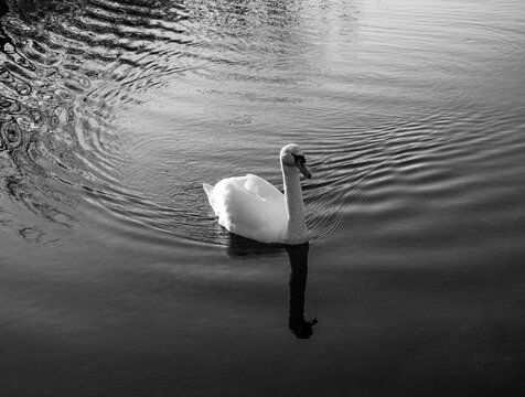 Swan swimming in a lake  Black and white