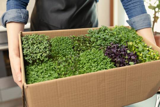 Organic raw microgreens - woman holding a cardboard box of healthy superfood sprouts in a modern kitchen. Healthy eating.