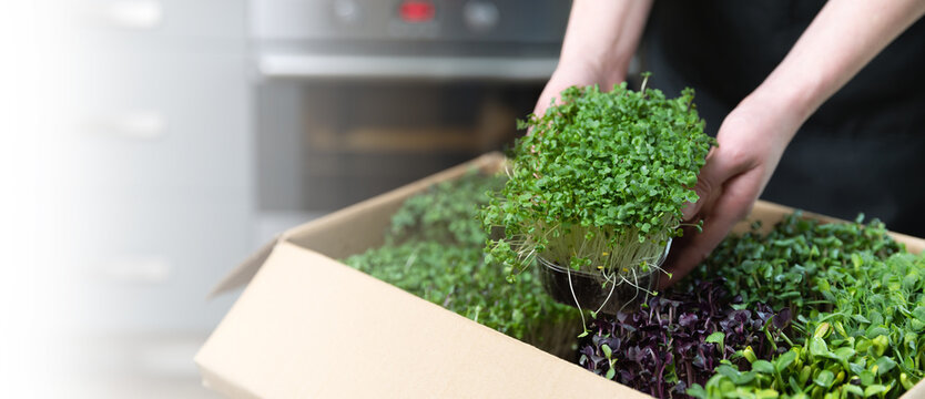 Organic raw superfood. Women taking out a microgreens container out of a cardbordbox banner. Healthy eating concept.