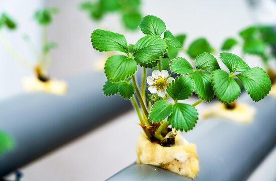 Hydroponics row in plantation. The hydroponics strawberry . Farm, technology concept.