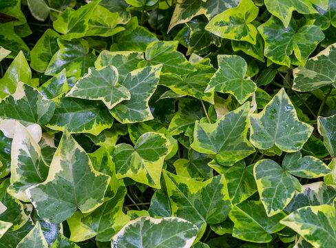 Close-up green ivy Hedera helix Goldchild carpet. Original texture of natural greenery. Background of elegant variegated leaves. Nature concept for design. Selective focus