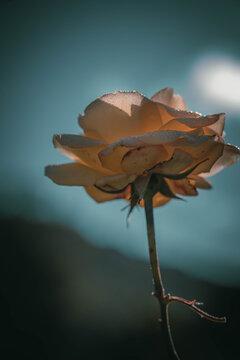 Beautiful Rose on Vintage style; nature background