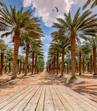Plantation of date palms for healthy food production, agriculture industry in the Middle East. Wooden board as a copy space
