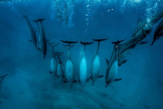 Swimming with Wild Spinner Dolphins in Hawaii