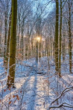 Beautiful beech forest in winter backlit by the setting sun