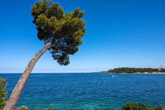 Lovely pine tree by the sea seen in Croatia