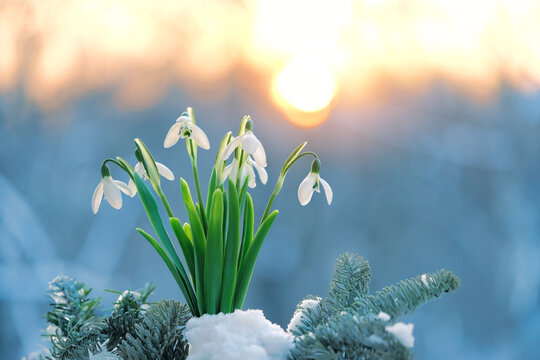 Blossom snowdrops flowers in snow. Beautiful spring nature background. early spring season concept.