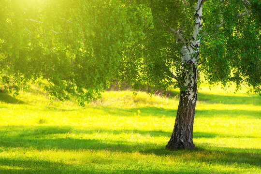 Birch tree with green leaves on the forest meadow with green grass. Selective focus. Beautiful summer nature background