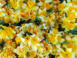 Daffodil yellow bouquet close-up pattern background top view. Macro first spring flowers (daffodil) narcissus bouquets in floral market from garden. Flowering bright narcis or daffodil view from above