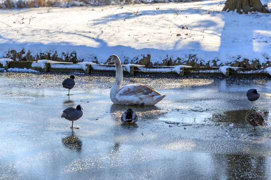 frozen lake in park with swan and ducks in Hoogvliet, dutch winter in The Netherlands, February