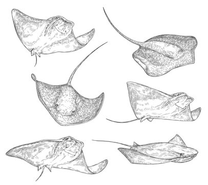 Stingray fish sketch icons, sting ray or manta underwater ocean creature. Vector isolated stingray species black and white engraving, oceanarium and marine wildlife symbol