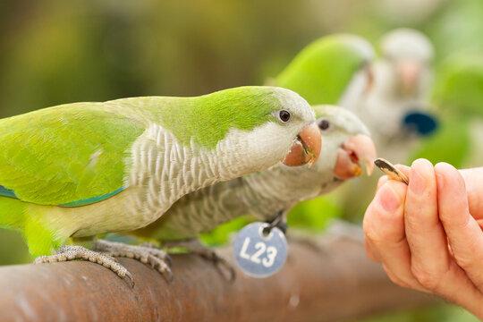 Closeup shot of a green monk parakeet (Myiopsitta monachus), Argentinian parakeet