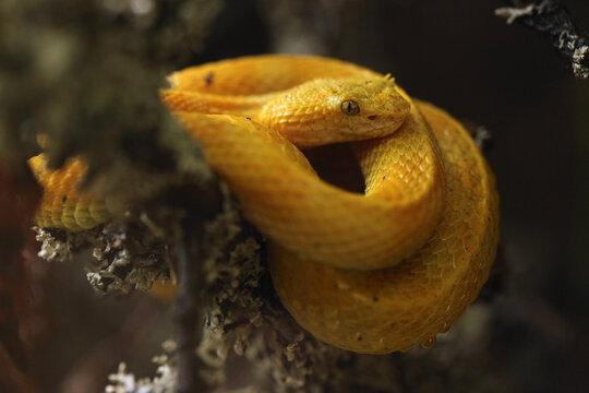 Eyelash viper (Bothriechis schlegelii).
