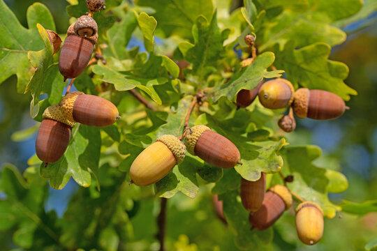 Früchte der Stieleiche, Quercus robur L.