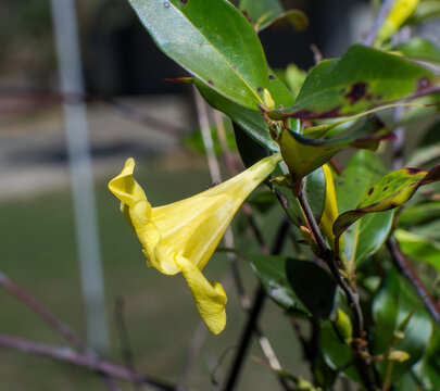 yellow jessamine (Gelsemium sempervirens) pride of augusta, side view of trumpet with small ant on bloom; Florida and southeast United States native