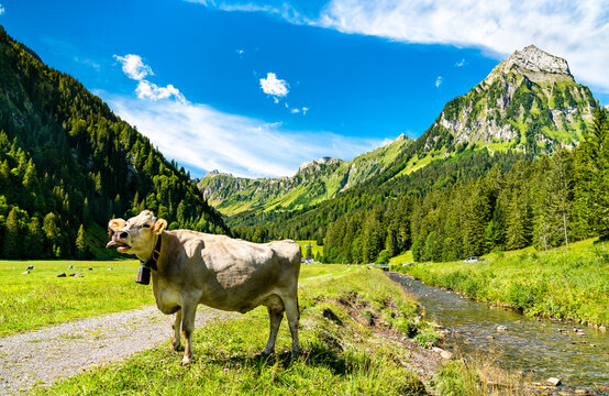 Funny cow at Oberseetal in the Swiss Alps