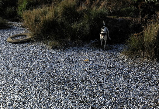 A dog stands next to thousands of dead sardines washed up on the shores of the Laraquete river, in Laraquete