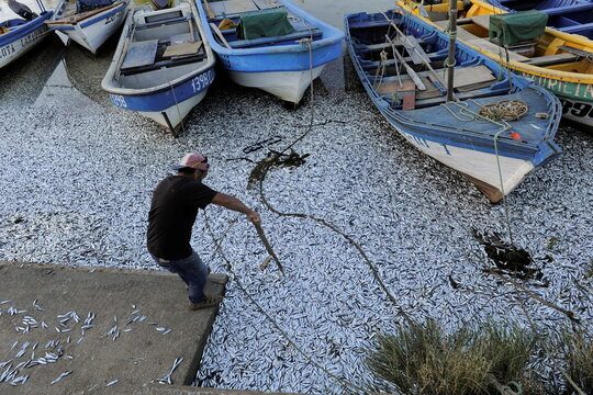 A man uses a wooden stick to move dead sardines washed up on the shores of the Laraquete river, in Laraquete