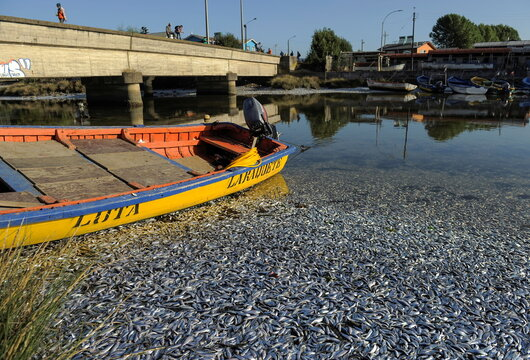Thousands of dead sardines are seen on the shores of the Laraquete river, in Laraquete