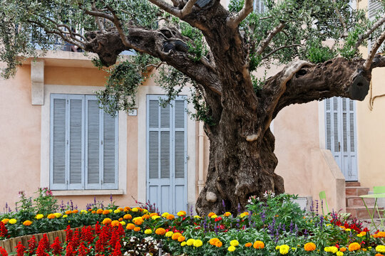 Saint-Maxime, village square with an old olive tree, Provence, Southern France