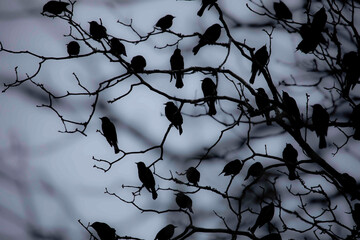 Silhouette of Starling Flock Perched on Cypress Tree branches Fotobehang