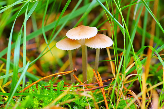 Helmlinge im Herbstwald - a group of Mycena mushrooms in forest