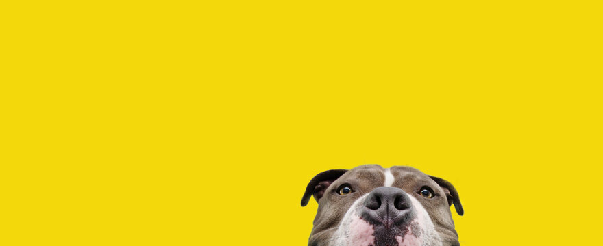 Banner curious american bully dog. Isolated on yellow background.