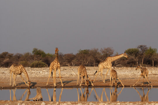 Giraffes at the waterhole in the Etosha National Park, Namibia
