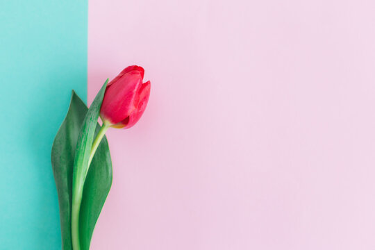 Tender pink tulip on pastel pink and turquoise background. Greeting card for Women's day. Flat lay. Place for text.
