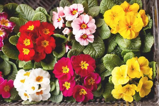 Multicolored garden primrose flowers, top view. Spring background, flower background, spring flowers