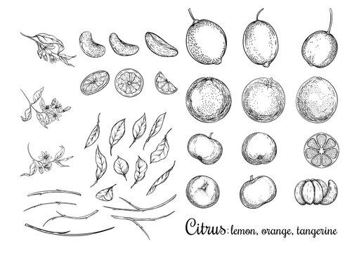 Lemon, Orange and Tangerine. Ripe citrus. Set of elements for design. Graphic drawing, engraving style. Vector illustration.