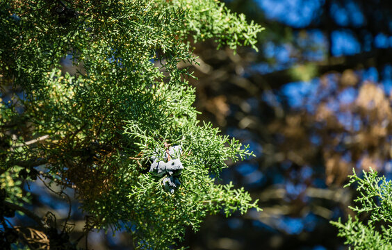 Blue seeds on big old Platycladus orientalis, also known as Chinese thuja, Oriental arborvitae, Chinese arborvitae, biota or oriental thuja in city park Sochi. Famous resort town of Russia.