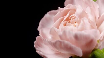 Obraz Kwiat, różowy kwiat, goździk, różowy goździk - fototapety do salonu