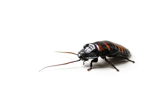 Huge madagascar hissing cockroach crawls on white table