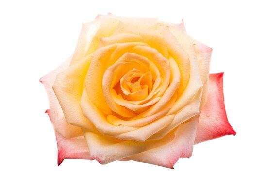 cream rose isolated