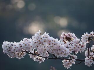 Fototapeta kwitnąca gałązka obraz