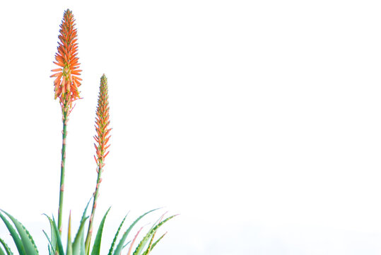 aloe arborescens with the typical orange flowers. Succulent plant with many healing properties. Natural medicine concept. White background. Copy space