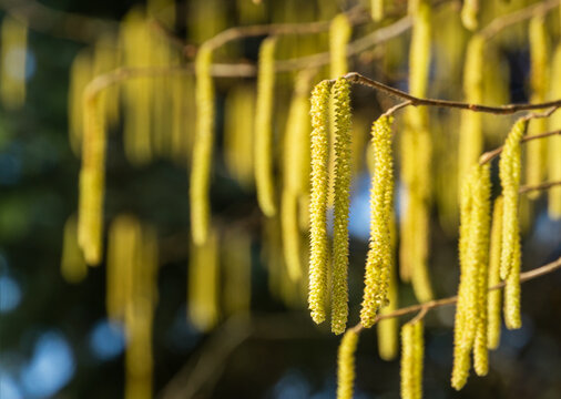 Corylus avellana or Corylus maxima yellow flowering hazelnut catkins (earrings) against blue sky. Lot of beautiful and highly allergenic hazel catkins. Selective focus on single catkins.