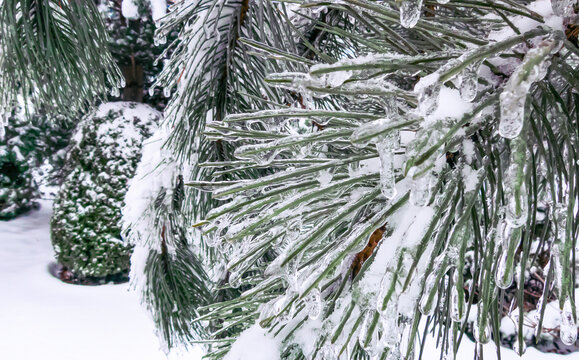 Transparent drops of freezing rain with white snow cover the needles of Pinus nigra, Austrian pine. Close-up selective focus. Nature concept for magic theme. Gentle winter picture.