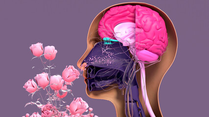 Fototapeta Olfactory system, sensory system used for smelling, olfaction senses. Components of the olfactory system. obraz