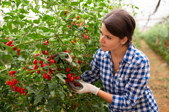 Successful female farmer hand harvesting crop of ripe red grape tomatoes in greenhouse in springtime