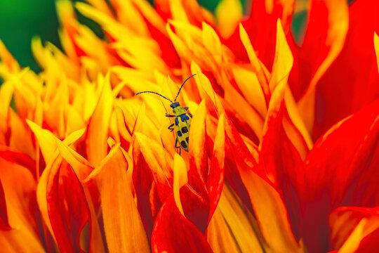 Yellow Bug Red Yellow Show N Tell Dahlia Blooming Macro
