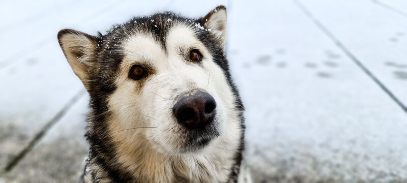 Alaskan Malamute Dog  during a winter snowing day in Italy.  Domestic animal pictures , Alaskan Malamute is similar to siberian Husky but bigger , more similar to a Wolf than to a dog. POV