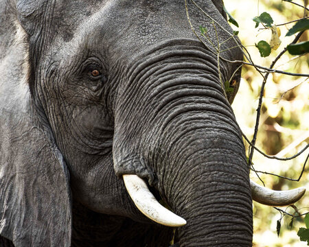 Closeup of gray wrinkled skin of a huge African elephant