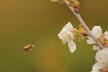 pszczoła murarka leci do kwiatów wiśni