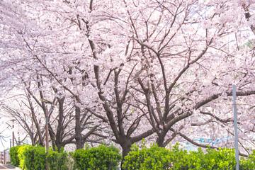 만개한 벚꽃나무와 하늘 Fotobehang