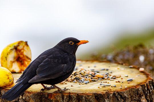 A portrait of a wild blackbird