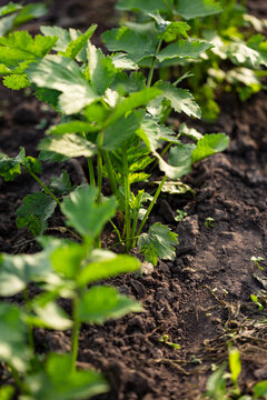Young parsnip plants in organic garden, food outdoor